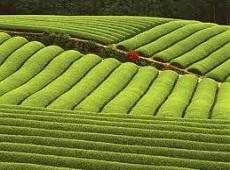 Зелен чай, черен чай, видове и класификация на чая