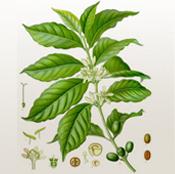 Кафе - растение